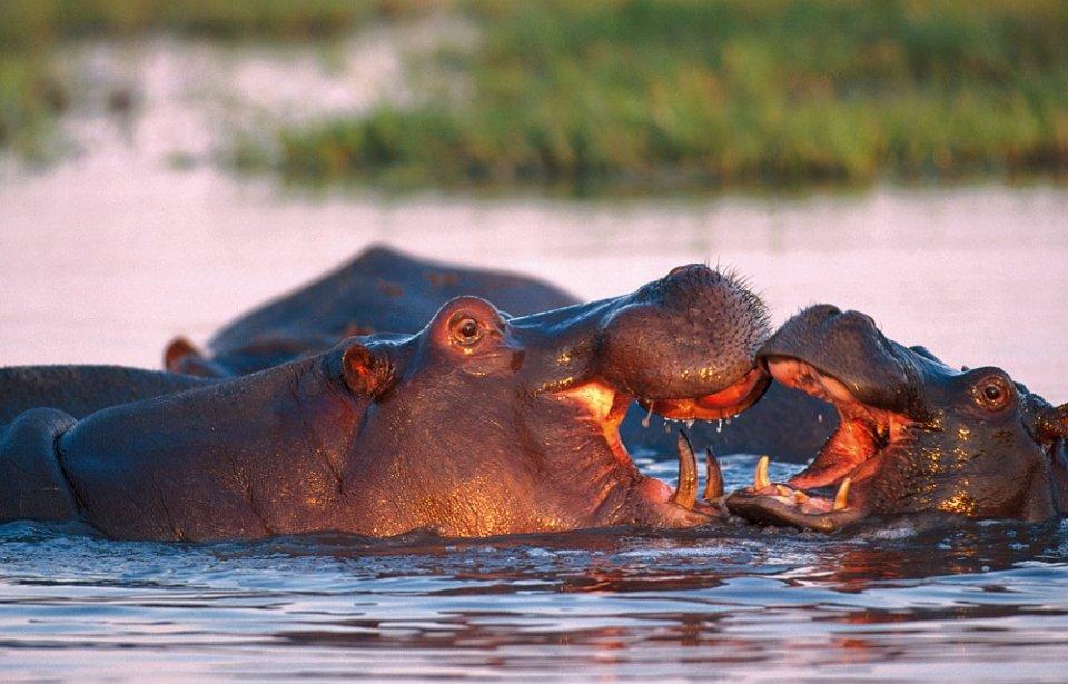 Virtahepoja Botswanassa