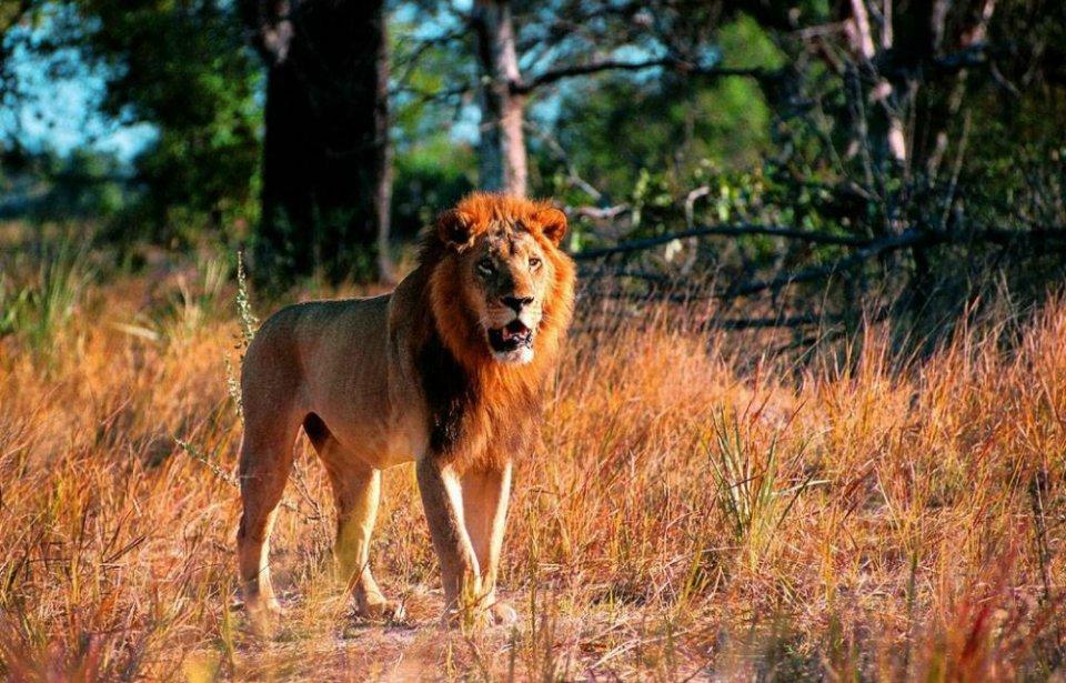 Leijona safarilla Botswanassa