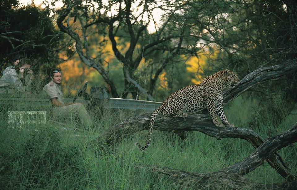 Leopardi, Mala Mala game reserve, Krugerin kansallispuisto, Mpumalanga