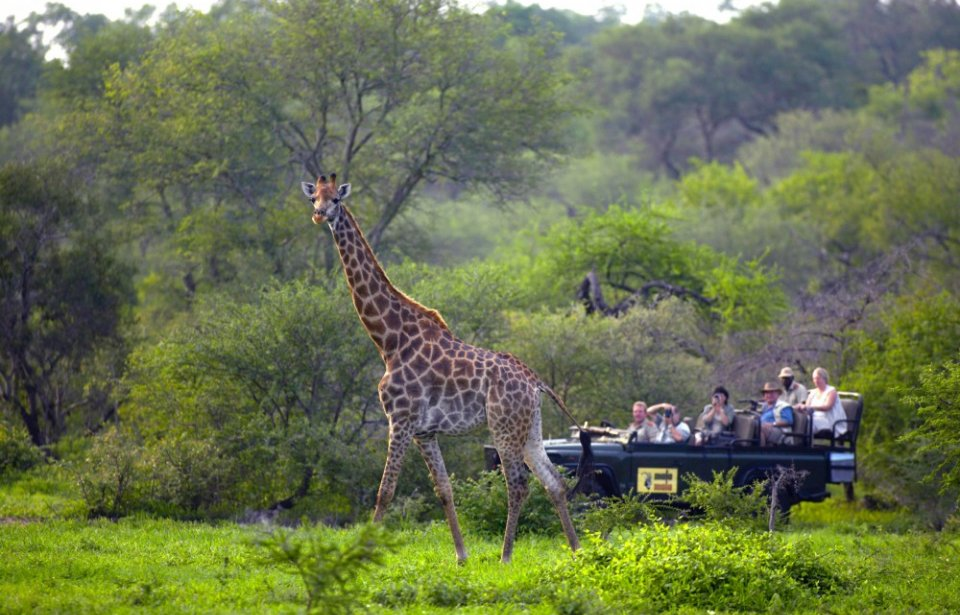 Kirahvi, Mala Mala game reserve, Krugerin kansallispuisto, Mpumalanga