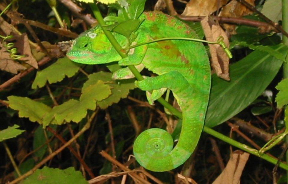 Kameleontti, Madagaskar