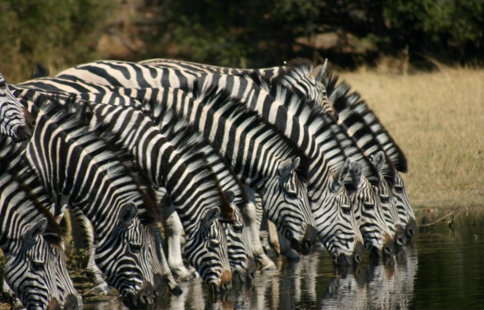 Seeproja juomassa, Botswana