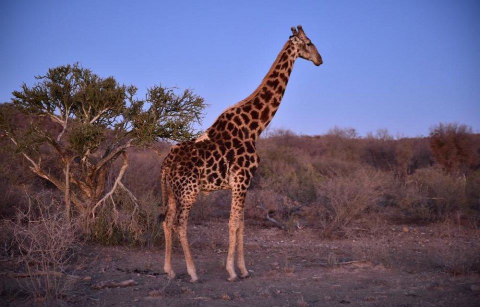 Etelä-afrikka, räätälöity, yksilöllinen, afrikka, kirahvi