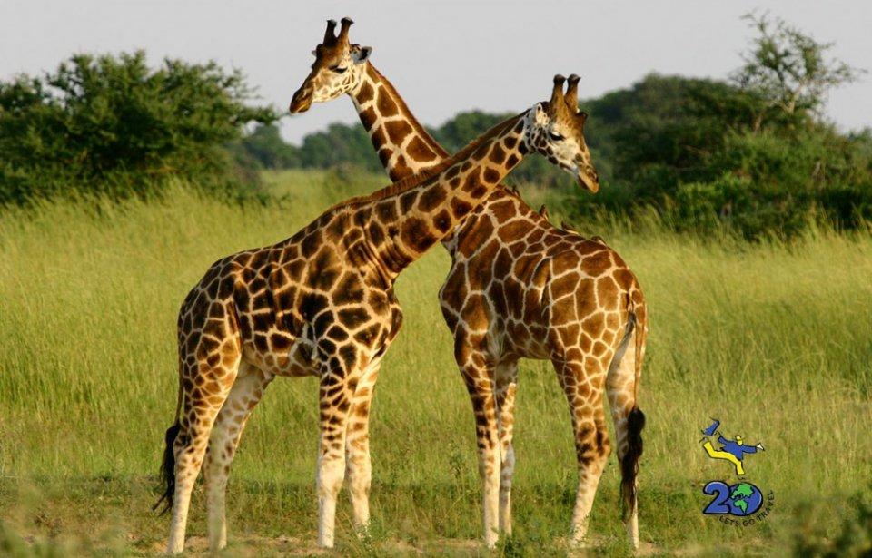 Kirahveja Afrikan safarilla