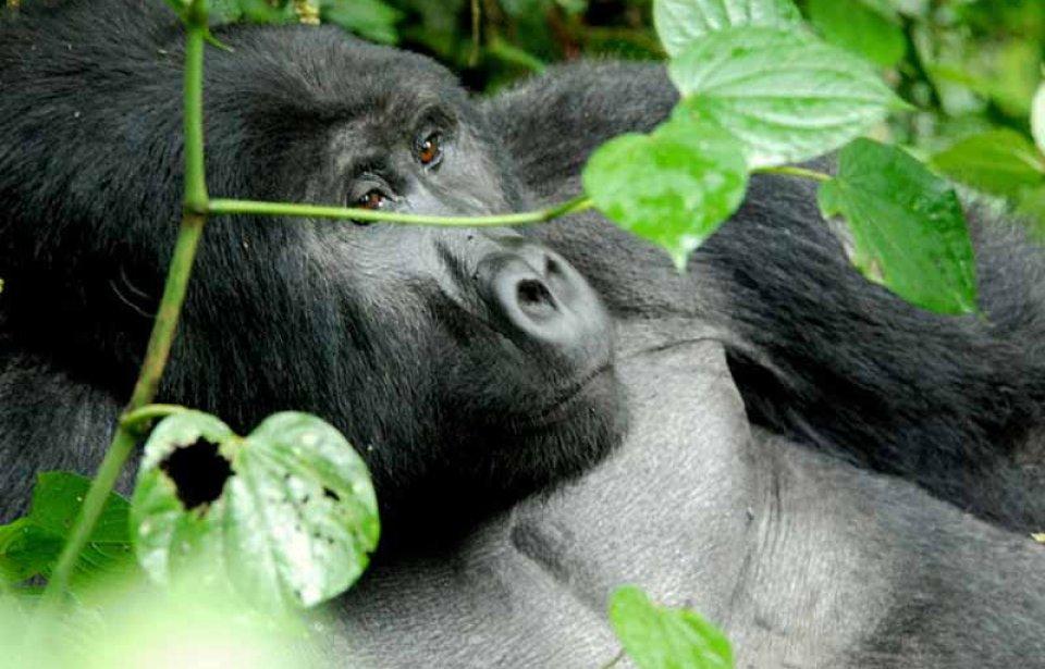 Gorillat Uganda