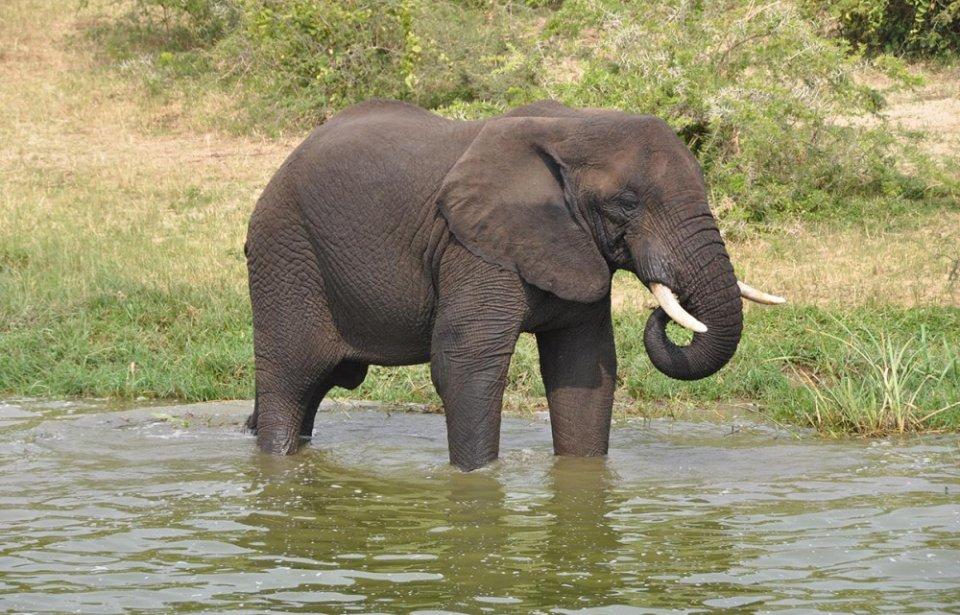 Norsu safari Ugandassa