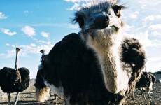 Ostrich, Etelä-Afrikan monet kasvot