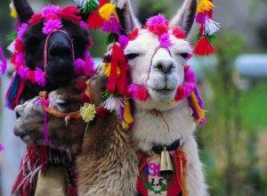 Laamoja Cuscossa