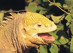 Iguaani