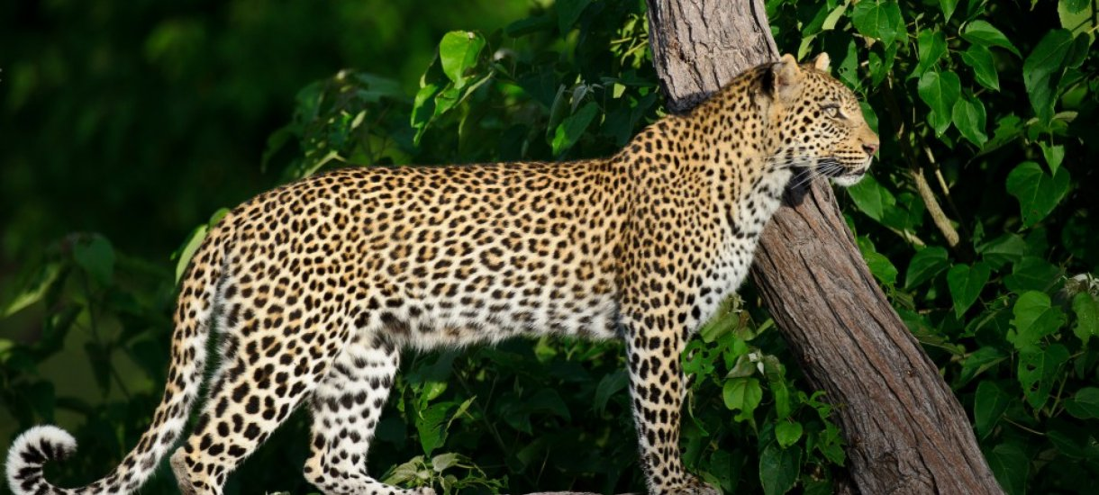 Botswana, leopardi