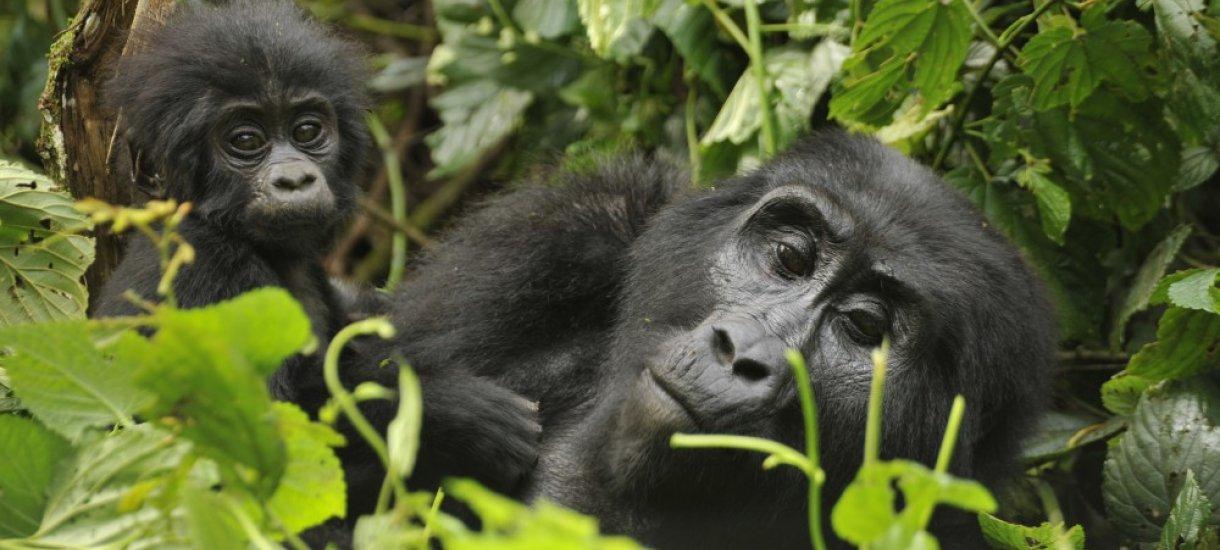 Gorilloja
