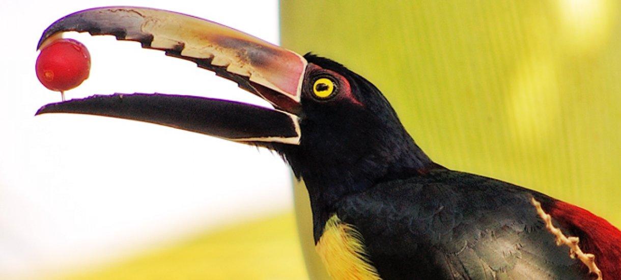 Aracari, Costa Rica