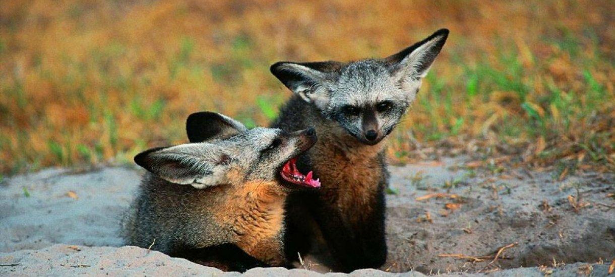 Savannien Bat-eared fox, Botswana