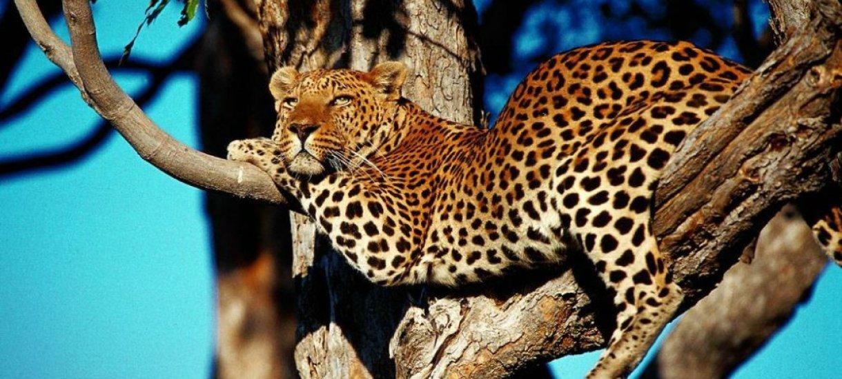 Leopardi, Botswana