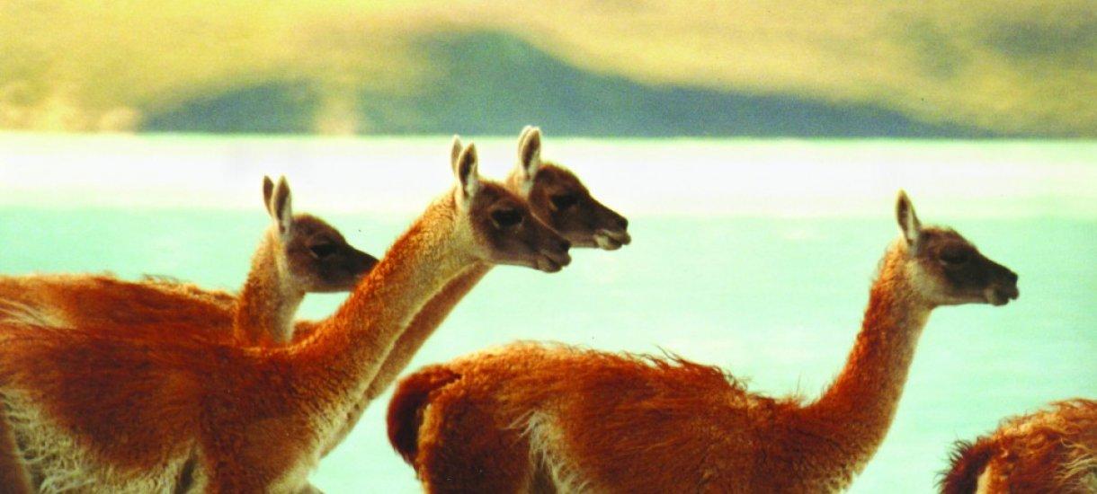 Guanakkoja Patagoniassa