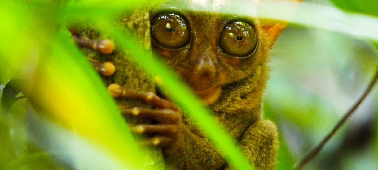 Filippiinit, Tarsier, kummituseläin