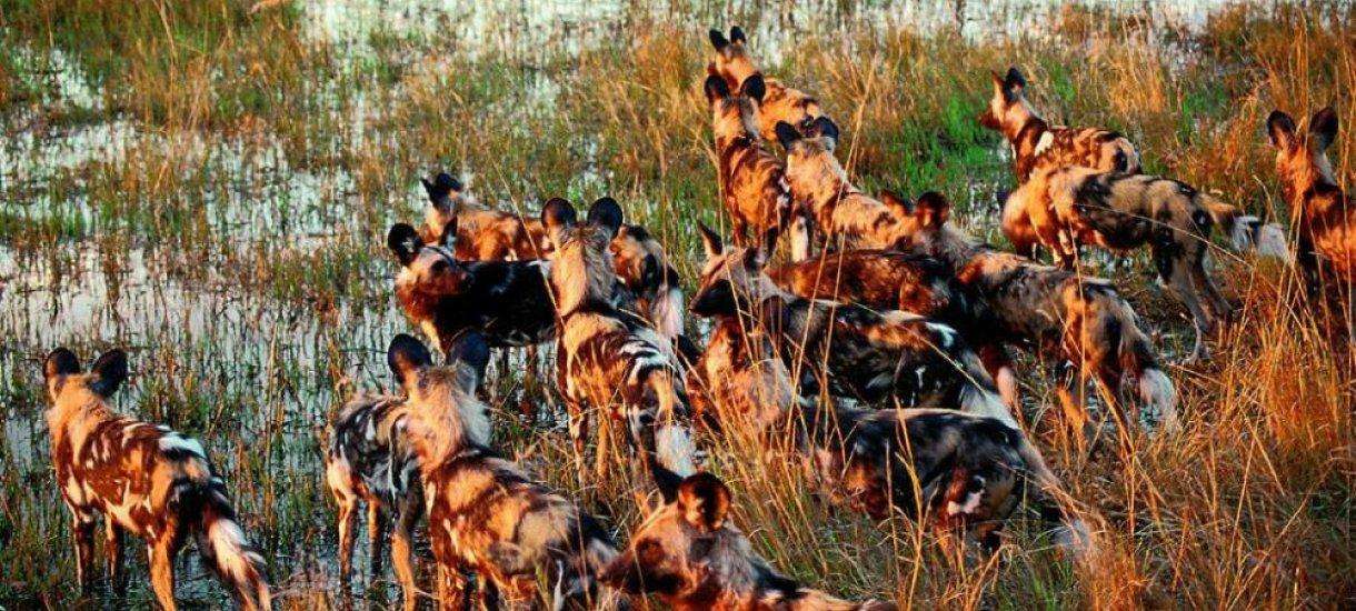 Villikoiria Botswanassa