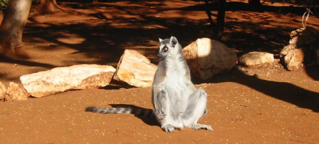 Madagaskar, ringtailed lemurs